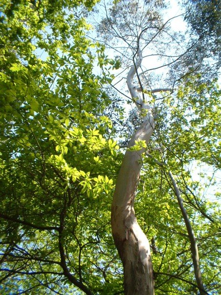 Corkscrew-trunked eucalyptus tree
