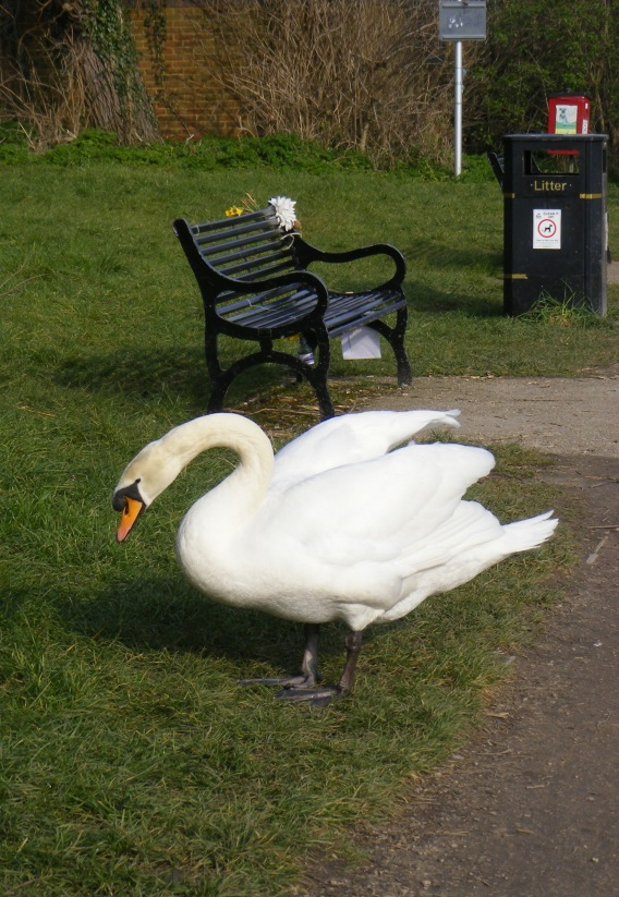 A threatening-looking swan, for no particular reason.