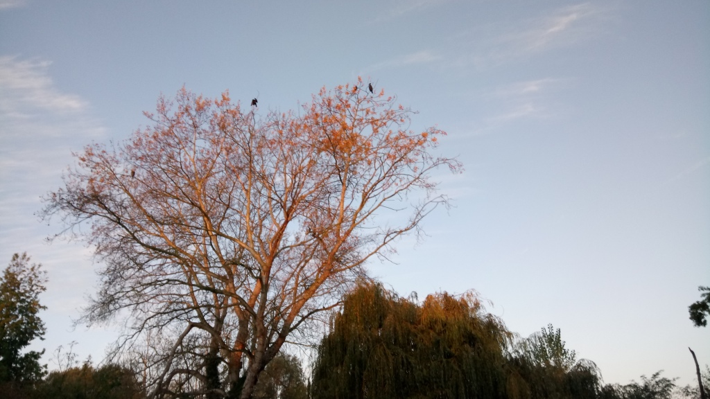 A deciduous tree, with most of its leaves gone, with three cormorants perching in the upper branches. It is lit up by rose-gold morning light.