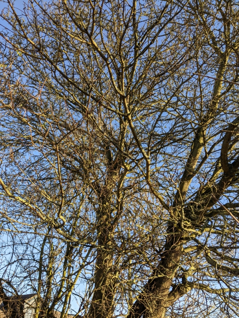 network of bare tree branches, lit up greenish in winter sunlight, with clear blue sky beyond