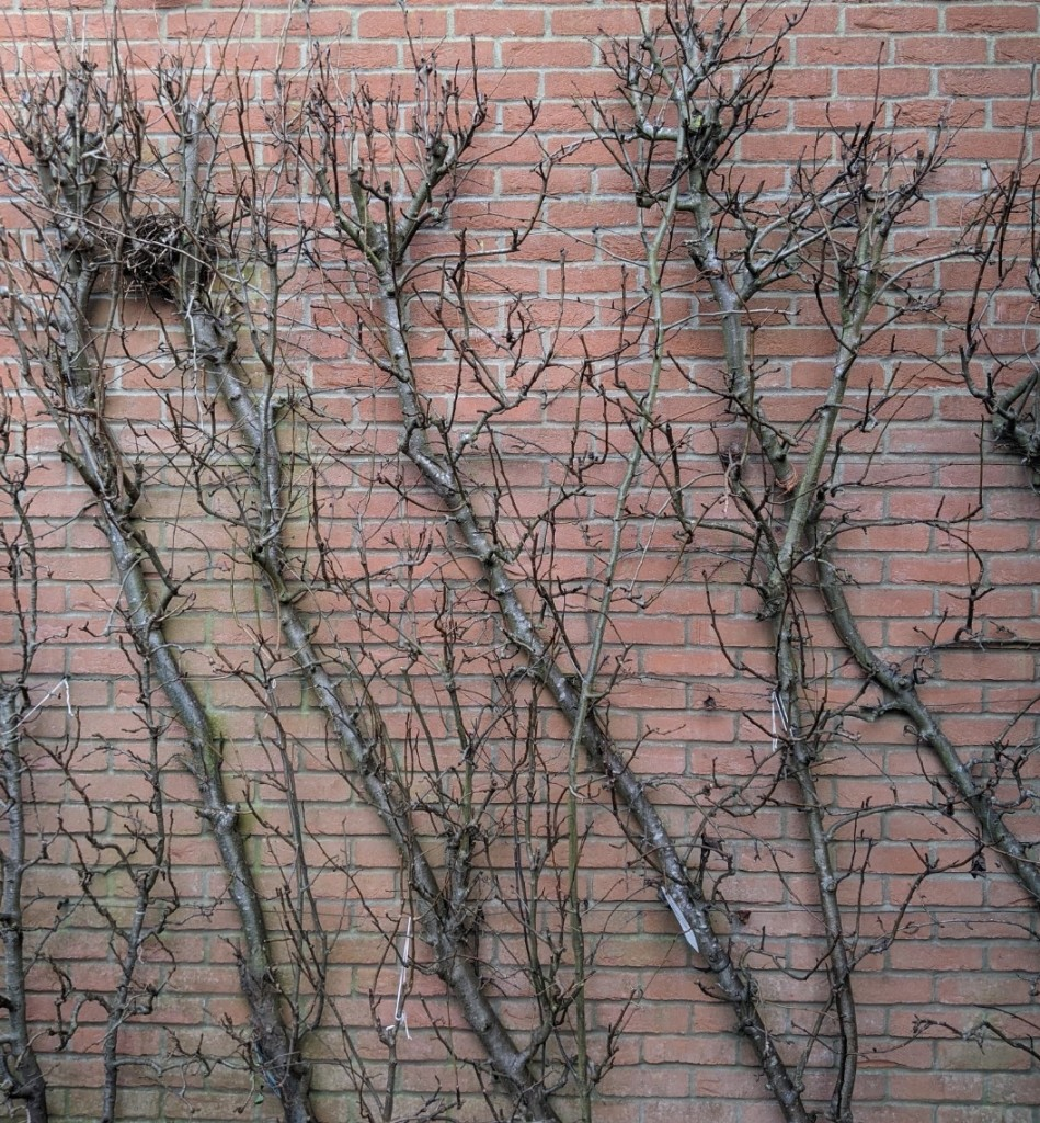 the trunks and branches of four bare pear trees growing against a red brick wall