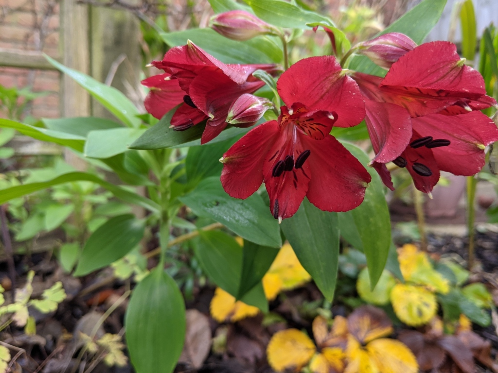 deep red lilies with green leaves