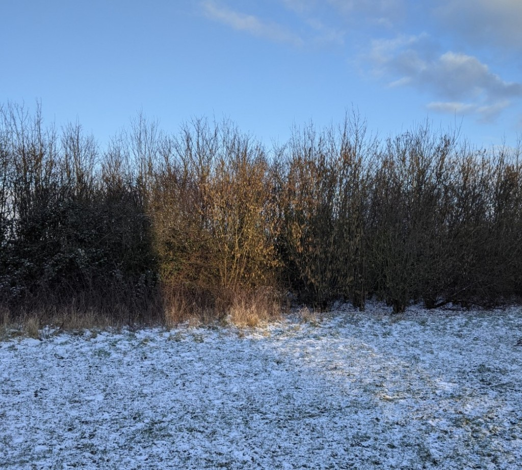 A straight-edged patch of sunlight falls across snowy grass and illuminates a couple of metres of a bare hedge with golden light