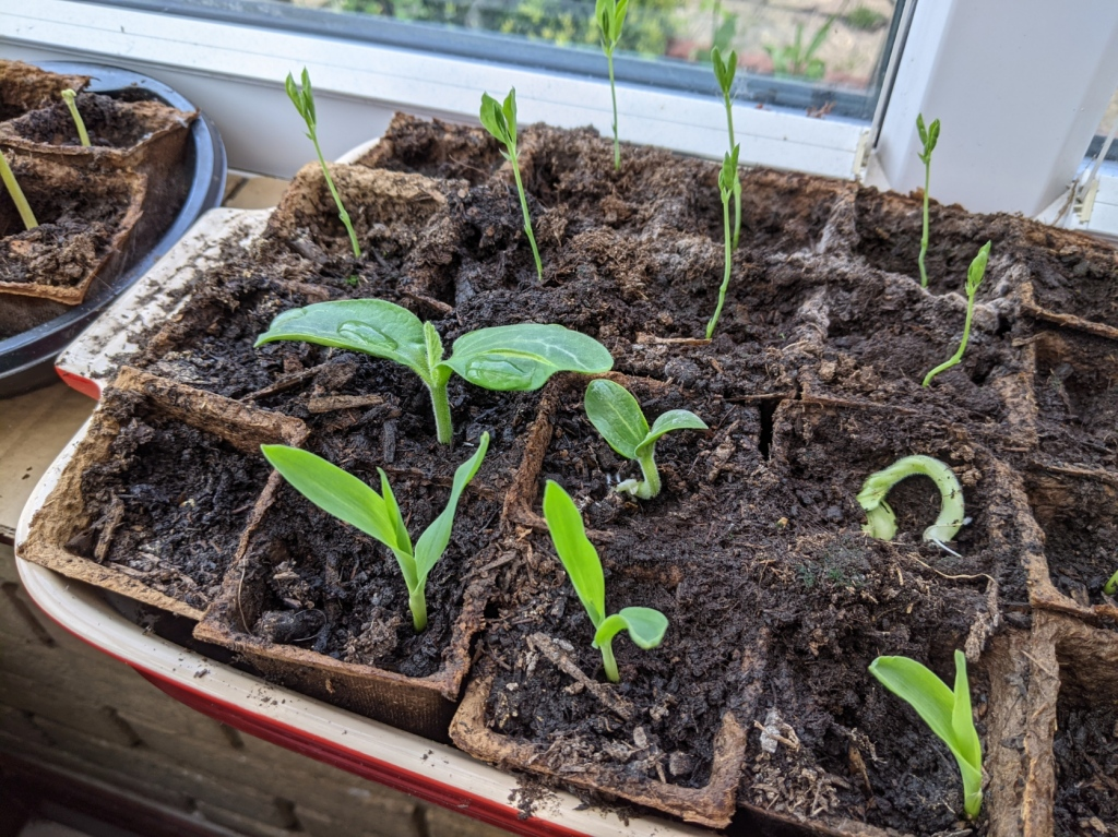 Seedlings in small pots of composts