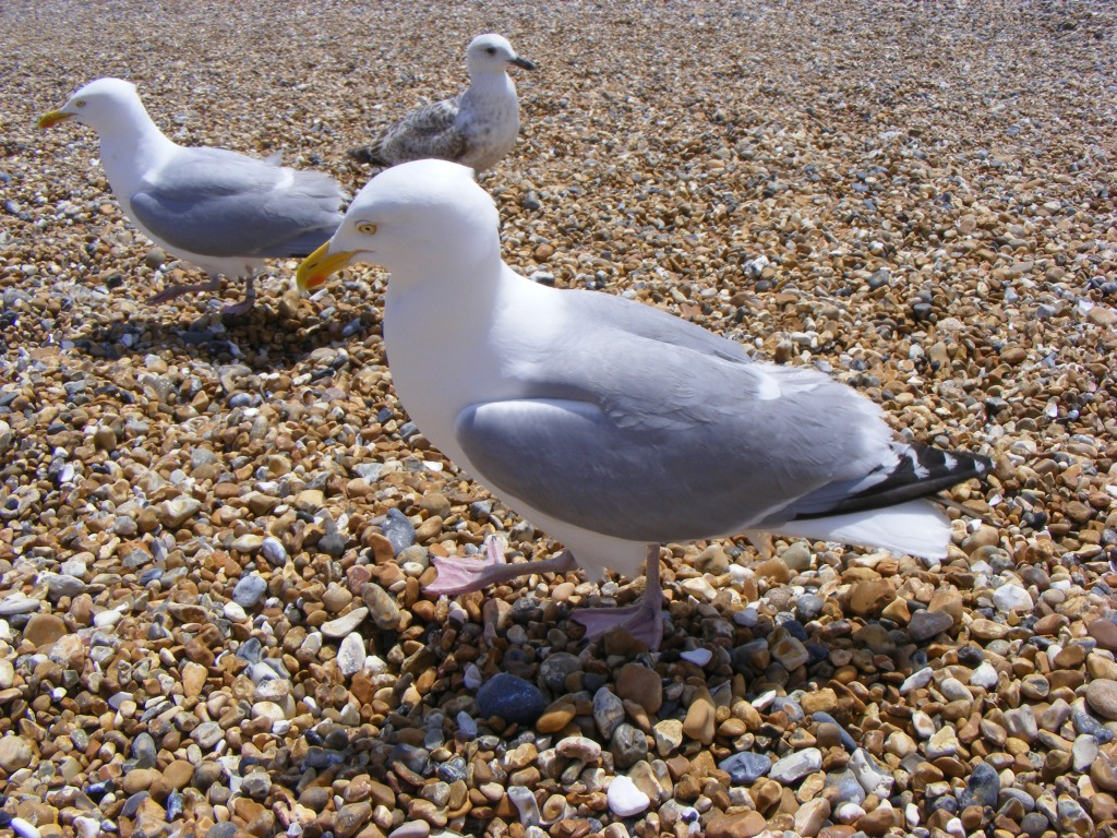 Three herring gulls on a shingle beach